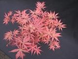 <h5>Acer Palmatum</h5><p></p>