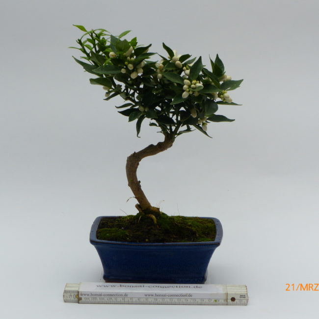 citruspflanze citrus myrtefolia 0682 bonsai connection. Black Bedroom Furniture Sets. Home Design Ideas