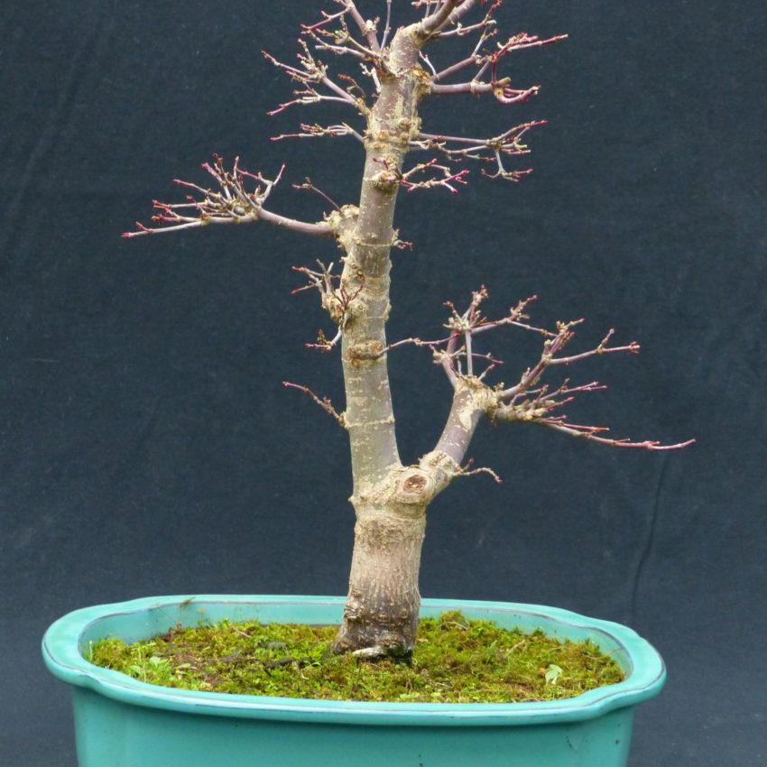 ahorn japanischer f cherahorn acer palmatum deshojo 056. Black Bedroom Furniture Sets. Home Design Ideas