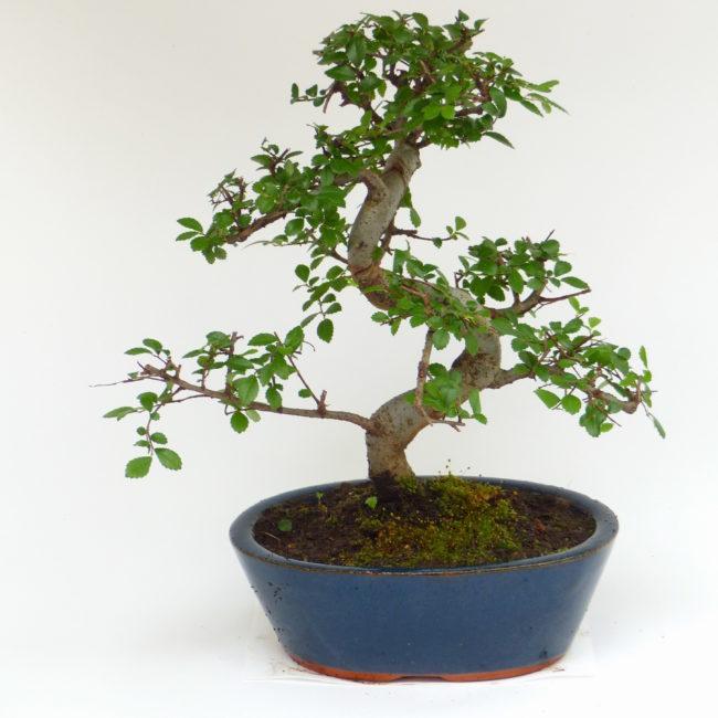 Chinesische Ulme - Ulmus parvifolia 121 - Bonsai Connection