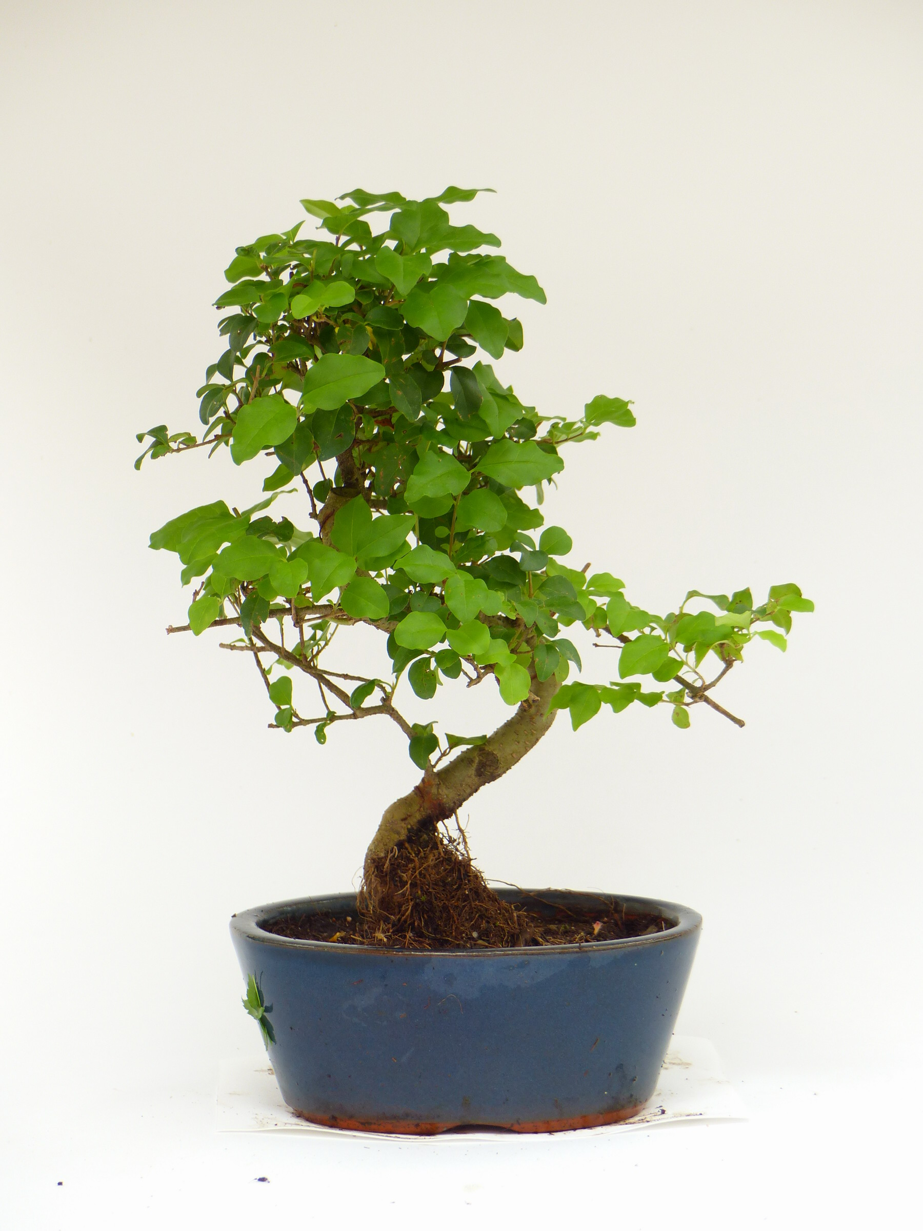 chinesischer liguster ligustrum sinensis 213 bonsai connection. Black Bedroom Furniture Sets. Home Design Ideas